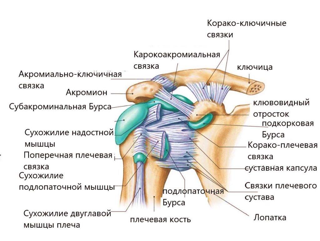 строение плеча