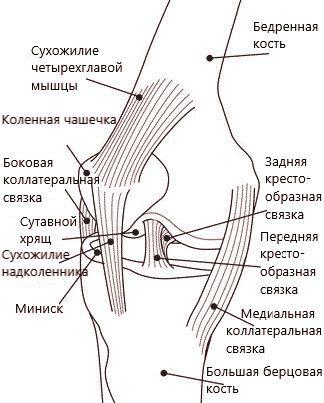 колено. кости и хрящи